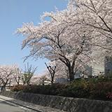 吹田市山田西の桜